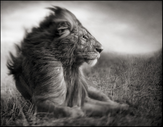 LION BEFORE STORM II