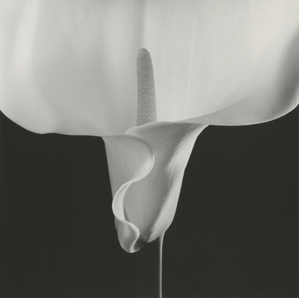 Calla Lily. © Robert Mapplethorpe Foundation