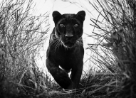David Yarrow - Black Panther