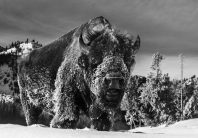 David Yarrow - The beast of yellowstone